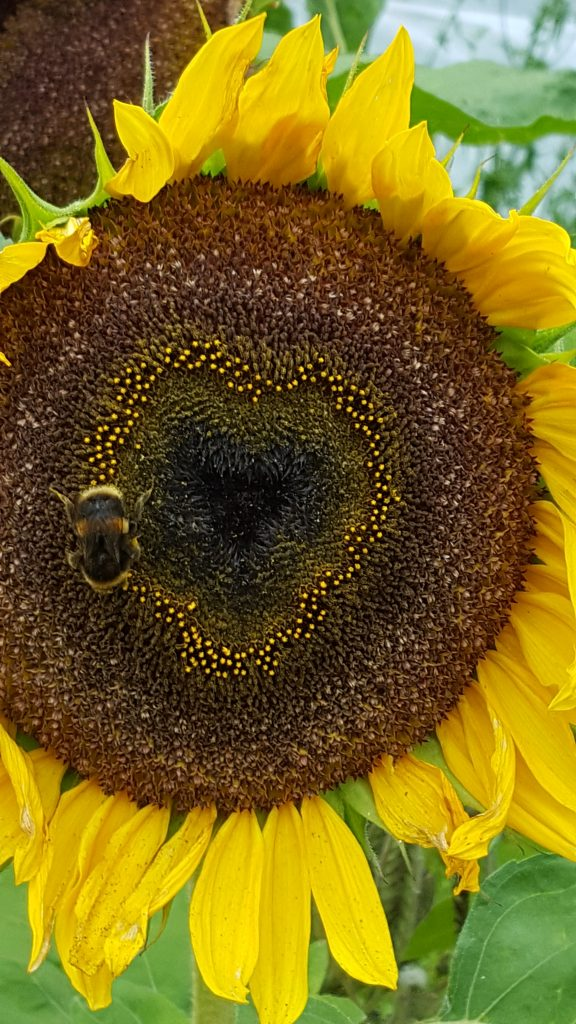 Photograph of Sunflower - copyright Jessica Robinson